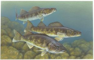 Walleye (Sander vitreus) from the USFWS. Artwork by Timothy Knepp.