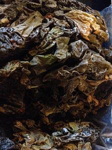 Sugar_Kelp_seaweed