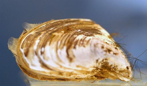quagga mussel NOAA