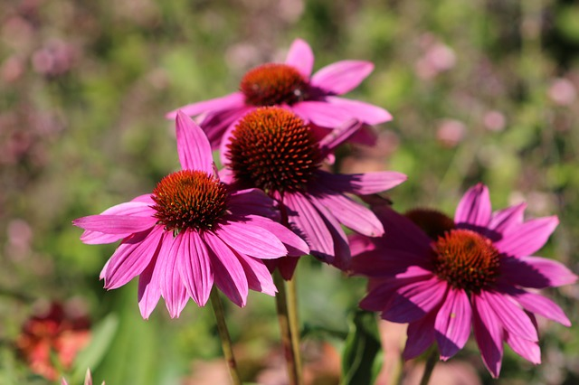Coneflowers: Good roots,
