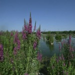 purple loosestrife in wetland area
