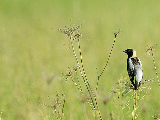 A lone bobolink ponders life in the grasslands...or maybe just needs a break. (via CheepShot/Wikimedia Commons)