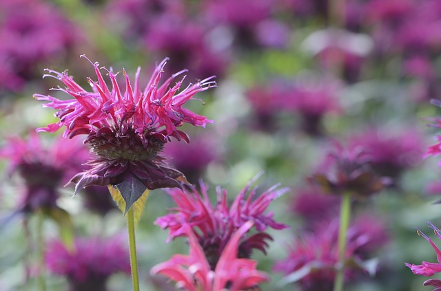 Ain't life grand -- when you can have flowers like this bee balm that are pretty and good for the ecosystem, too? (via Pixabay)