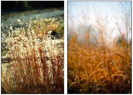 Bluestem (left) and switchgrass (right) contribute to water-friendlier ecosystems. (via USFWS)