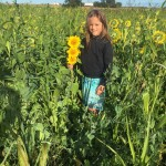 Sunflower_cover crop