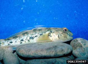 Round gobies are eating native species out of house and home! (via USDA Invasive Species Info)